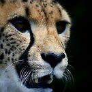 Cheetah 1 by Dave Cauchi