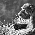 Chimpanzee Profile by Dan Jesperson