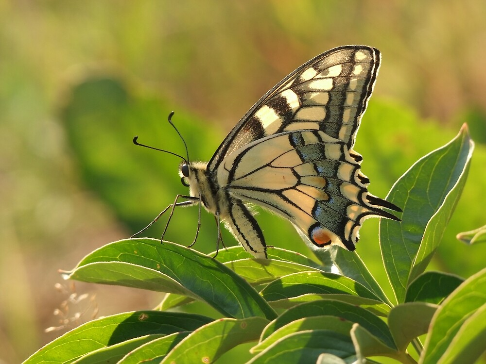 Butterfly Swallowtail by Yullapa
