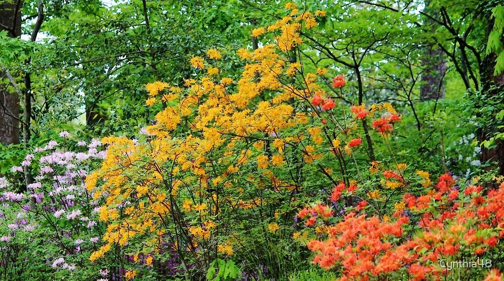 Abundance Of Azaleas  by Cynthia48