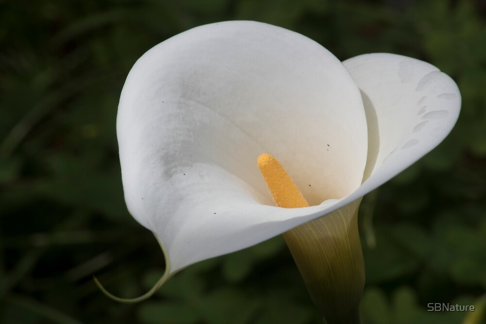 Calla Lily After the Rain by SBNature