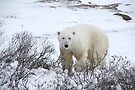 Polar Bear in the Arctic Willow by Carole-Anne