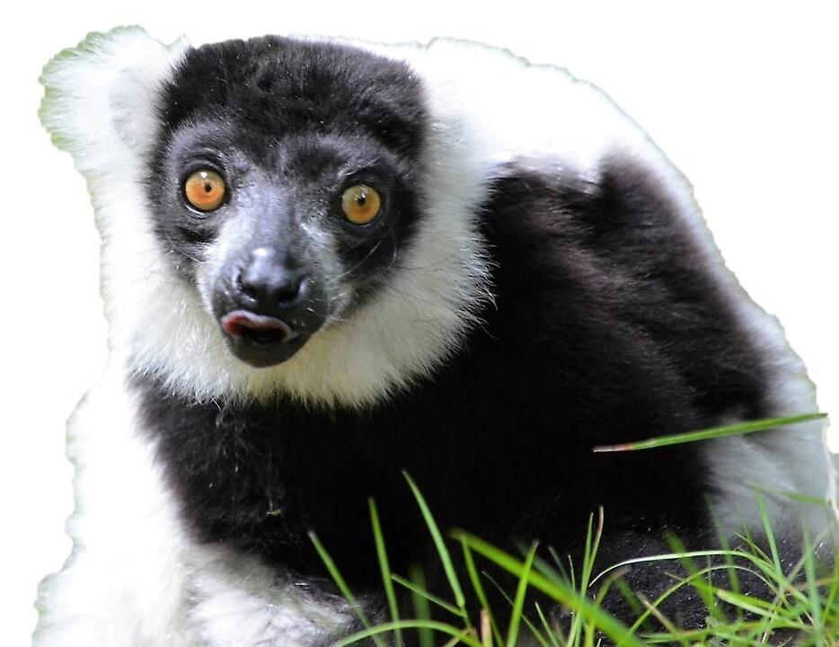 Black and White Ruffed Lemur by Jessamy83