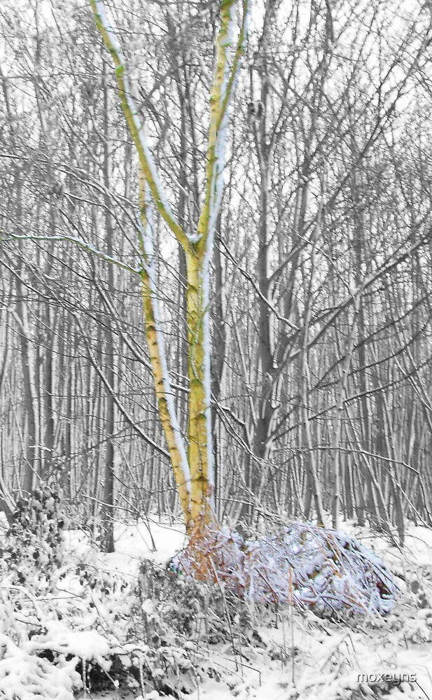 Yellow birch in snow by moxeyns