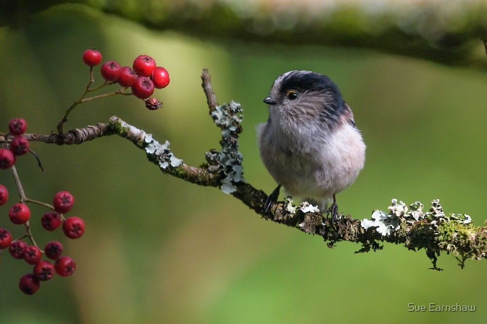 Long Tailed Tit by Sue Earnshaw