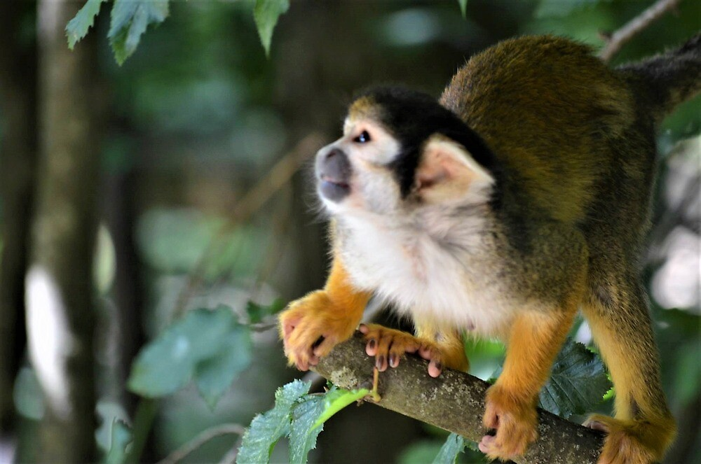 Squirrel Monkey by Jessamy83