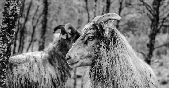Monochrome Sheep  by Elliot Julian C.