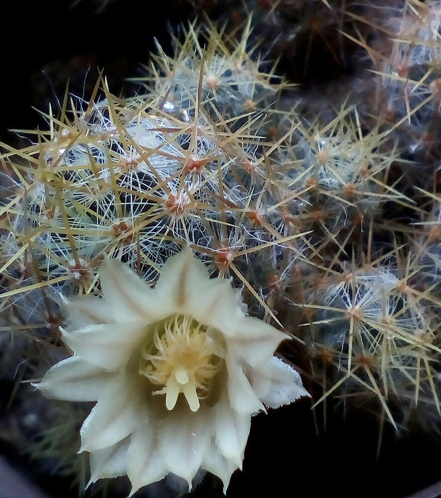 the cactus bloom by rutlepetit