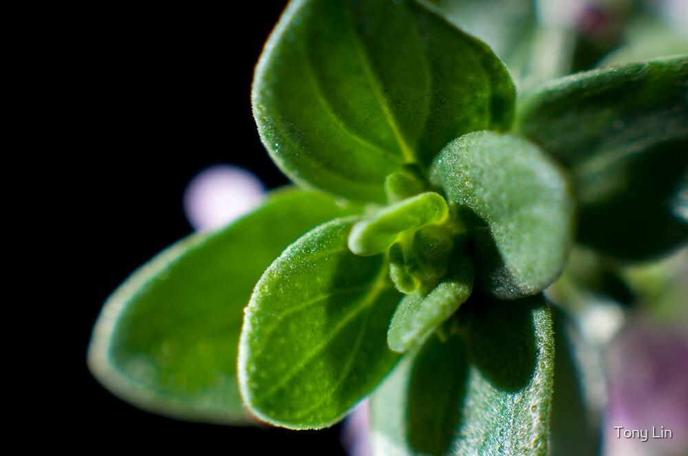 Lemon Thyme (Thymus Citriodorus) Macro by Tony Lin
