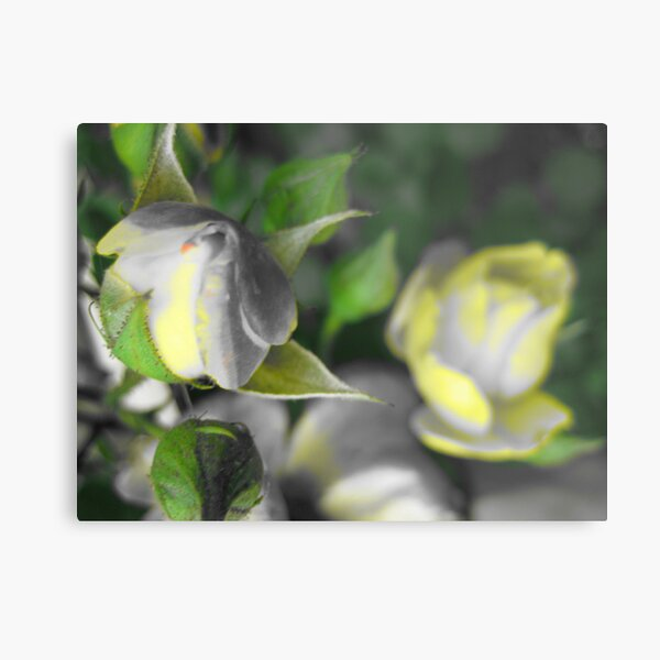 a rose for opportunity Metal Print
