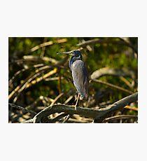 A Tri-Color Heron Photographic Print