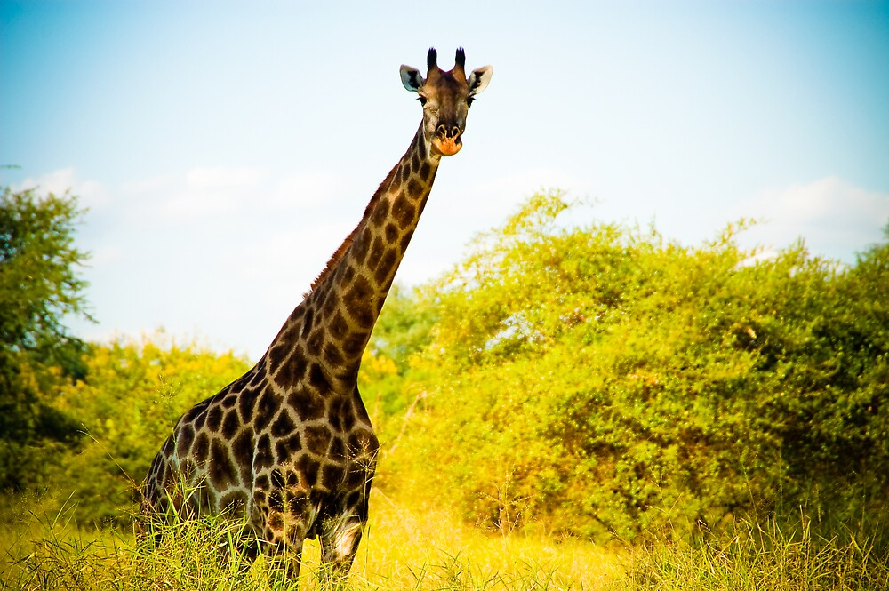 Giraffe at Sucoma Nyala Park, Malawi by Tim Cowley