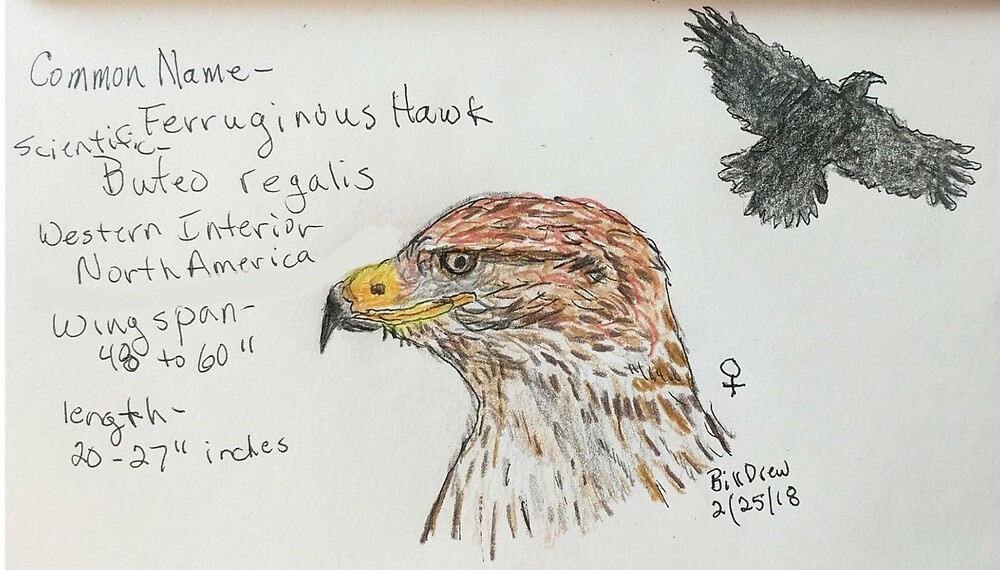Ferruginous Hawk by Branwen Drew