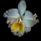 Simple Orchid by alan shapiro