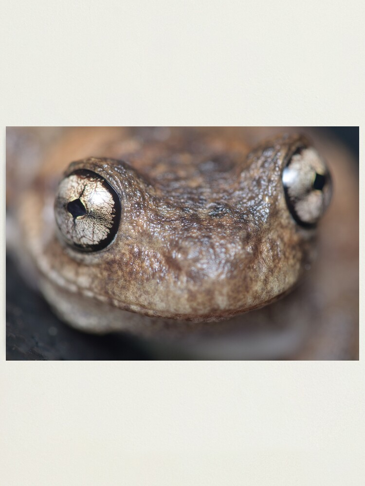 Alternate view of Peron's Tree Frog Photographic Print