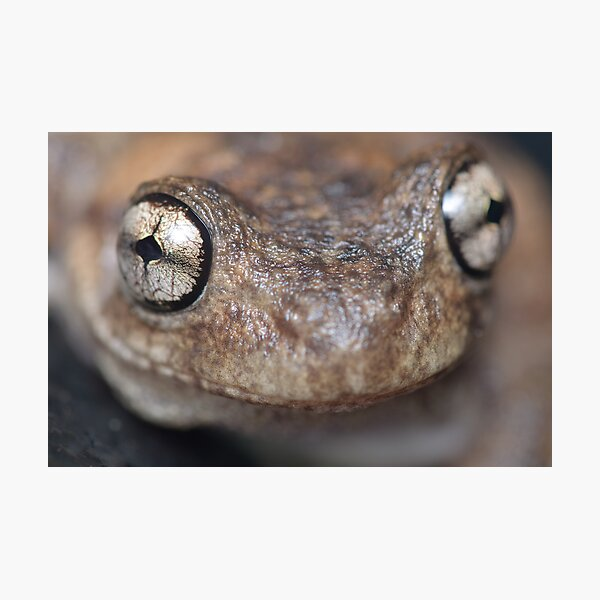 Peron's Tree Frog Photographic Print