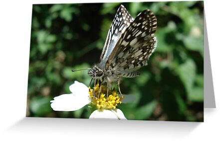 White Checkered Skipper  by May Lattanzio