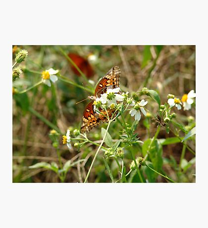 Variegated Fritillary Photographic Print