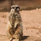 Meerkat. by Joker-laugh
