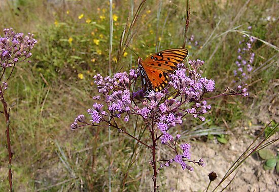 Gulf Fritillary in Ironweed by May Lattanzio