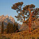 Patriarch Tree & Grand Teton by A.M. Ruttle
