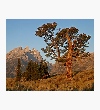 Patriarch Tree & Grand Teton Photographic Print