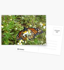 Monarch on Bidens alba Postcards