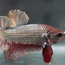Siamese Betta Splendens by Aneurysm