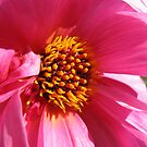 Pink Splendour - Fascination Dahlia by Kathryn Jones