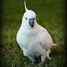 One Cockatoo by Evita