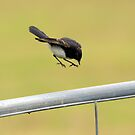 """"""" Willy Wagtail """"  by helmutk"""
