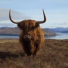 Highland Coo by jmnicolson