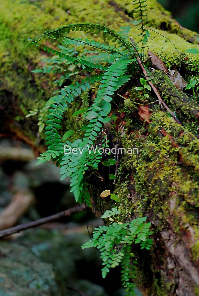 Ferns - Ellenborough Falls NSW by Bev Woodman
