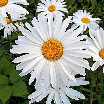 Olympia White Daisy  by bobmeyers