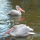 Posing Pink Pelicans by karenuk1969