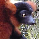 Charlie the Lemur says HELLO! by karenuk1969