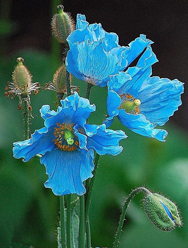 Himalayan Blue Poppies by Joan  Hoffman