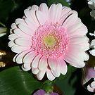 soft pink gerbera by memaggie