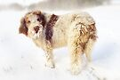Spinone in a Snow Storm by heidiannemorris