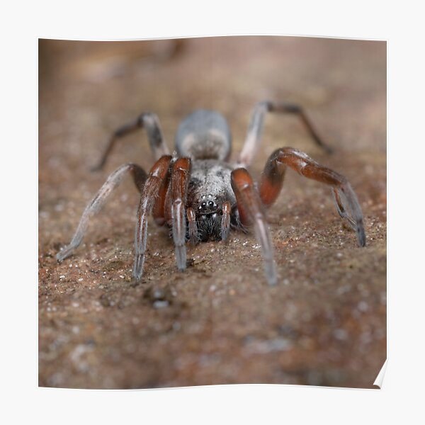 White-tail Spider Poster