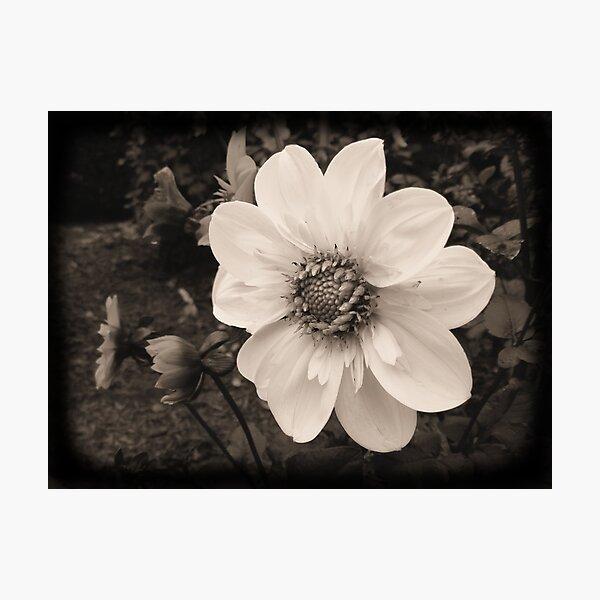 Dreamy Dahlia Photographic Print