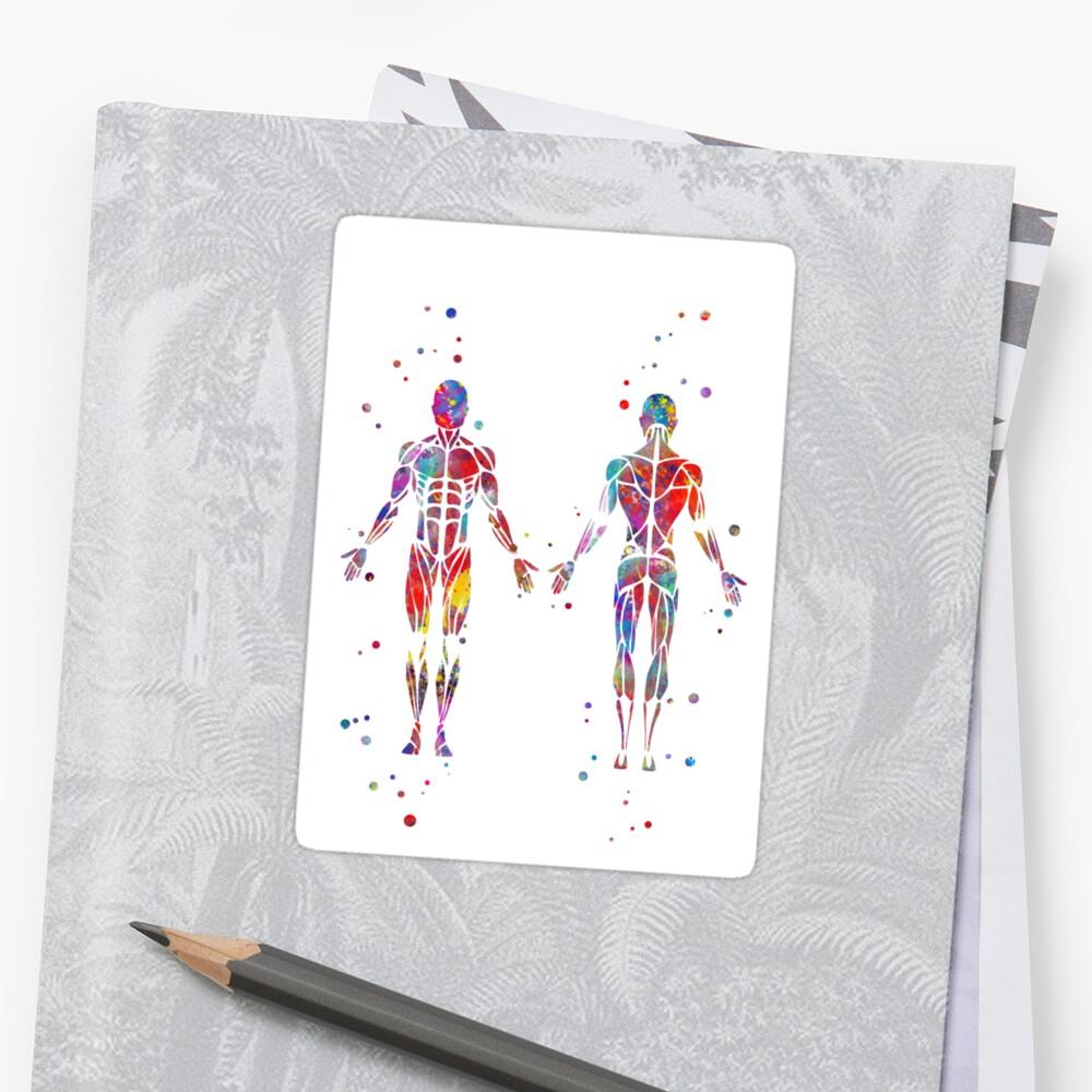 Pegatinas «Sistema muscular, arte de la anatomía de la acuarela ...