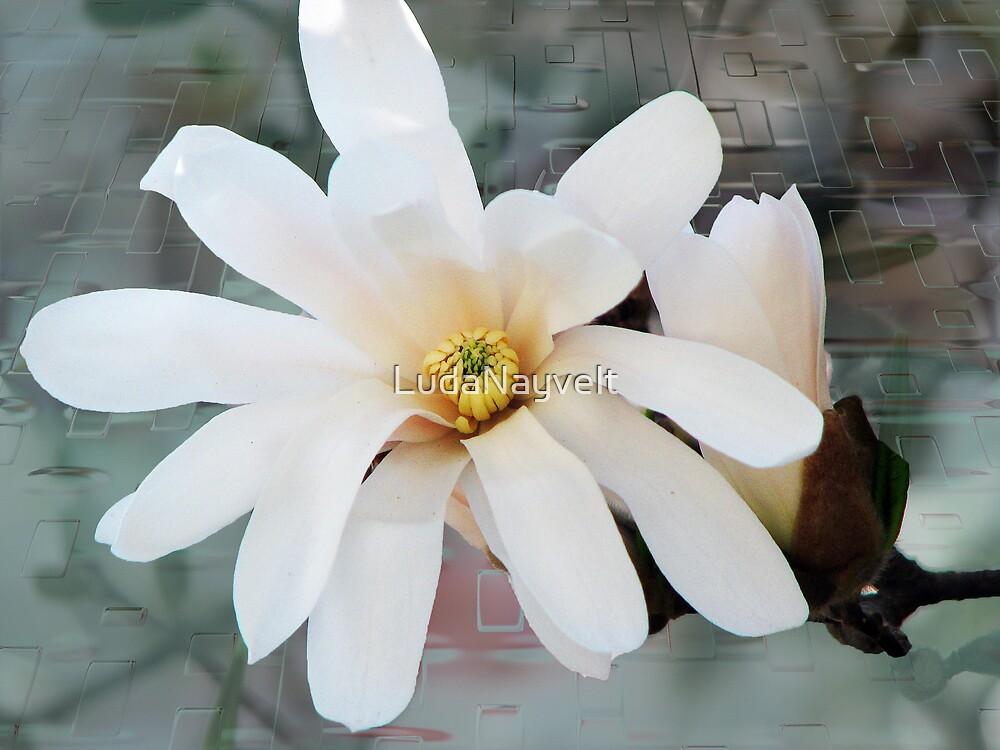 Star magnolia by LudaNayvelt