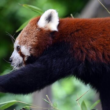 Red Panda by MsHannahRB
