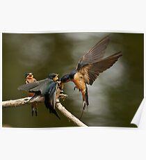 Swallows Feeding Poster