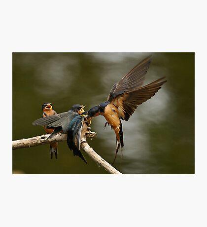 Swallows Feeding Photographic Print