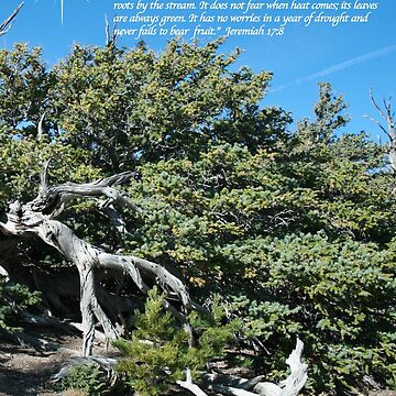 Celebrating Christ Bristlecone Pine by sdawsoncc