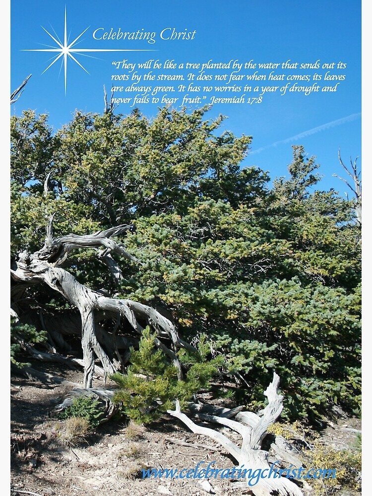 Bristlecone Pine Story Image  - From ccnow.info by sdawsoncc