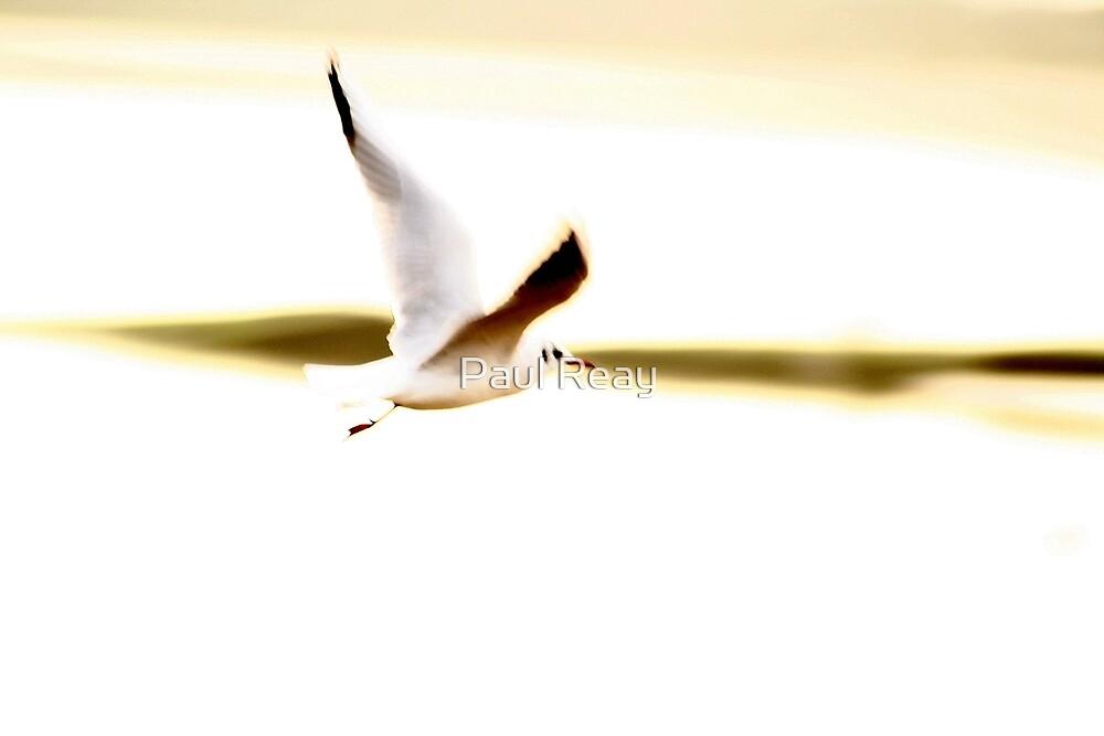 Seagull in flight by Paul Reay