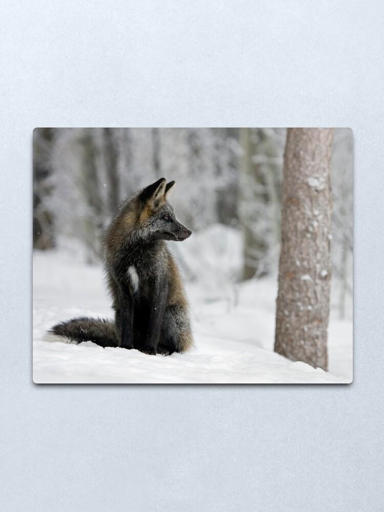 Alternate view of Silver Fox in Snow Metal Print